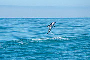 Picture 'Nz2_13_2 Dolphin, Dusky Dolphin, New Zealand, Kaikoura'